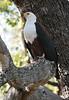 African_Fish_Eagle_Botswana_2008_0010