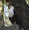 African_Fish_Eagle_Botswana_2008_0008