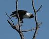 African_Fish_Eagle_Botswana_2008_0007