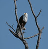 African_Fish_Eagle_Botswana_2008_0003
