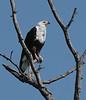 African_Fish_Eagle_Botswana_2008_0006