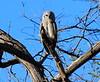 Giant_EagleOwl_Botswana (21)