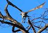 Giant_EagleOwl_Botswana (6)