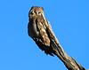 Giant_EagleOwl_Botswana (22)