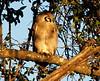 Giant_EagleOwl_Botswana (16)