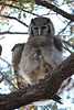 Giant_EagleOwl_Botswana (2)