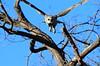 Giant_EagleOwl_Botswana (7)