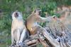 Vervet_Monkey_Botswana_2008_0004