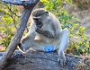 Vervet_Monkey_Botswana_2008_0003