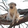 Vervet_Monkey_Botswana_2008_0008