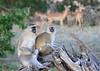 Vervet_Monkey_Botswana_2008_0002