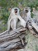 Vervet_Monkey_Botswana_2008_0005