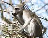 Vervet_Monkey_Botswana_2008_0007