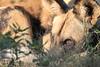 African_Wild-dog_Botswana (14)