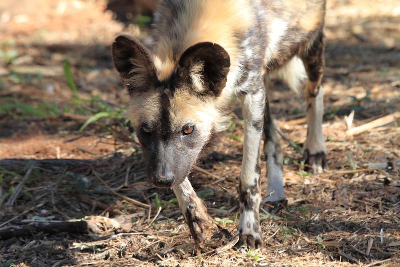 African_Wild-dog_Botswana (34)