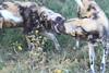 African_Wild-dog_Botswana (8)