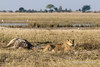Lioness-guarding-fresh-giraffe-kill-3