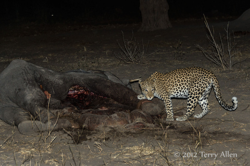 Leopard-at-elephant-carcass-5