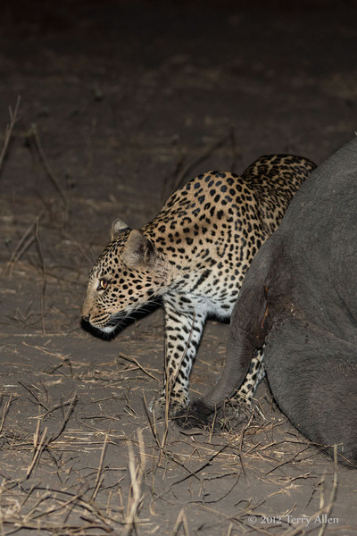 Leopard-at-elephant-carcass-1
