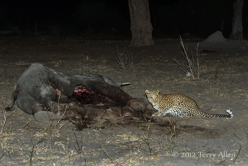 Leopard-next-to-elephant-carcass