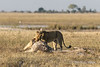 Lioness-attempts-to-turn-over-giraffe-1