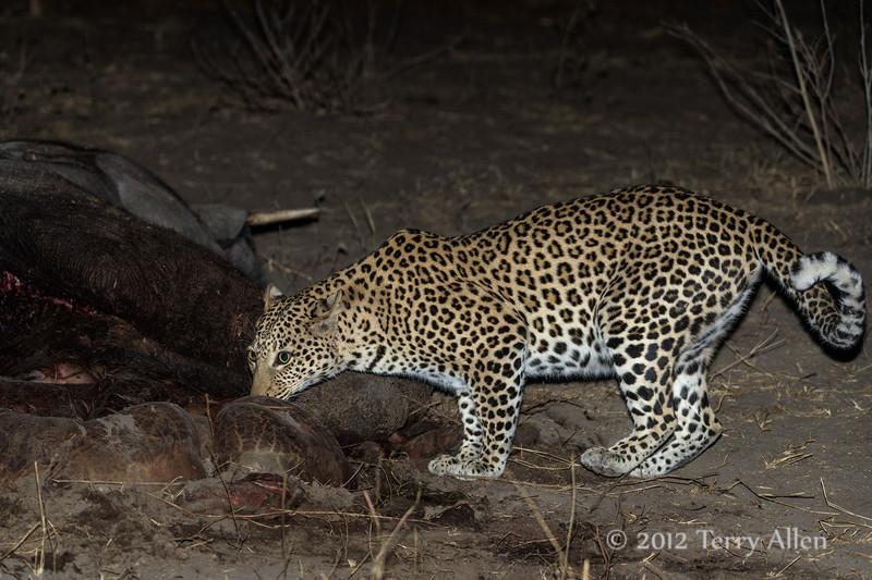Leopard-investigating-elephant-carcass-3