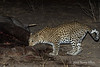Leopard-investigating-elephant-carcass-3