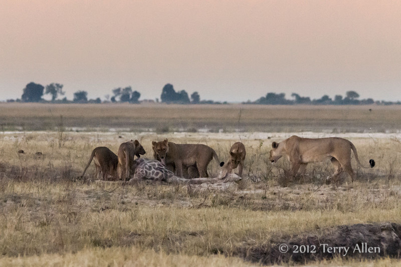 Lion-pack-feasting-at-giraffe