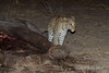 Leopard-at-elephant-carcass-4