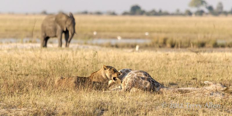 Lioness-can't-bite-though-giraffe-skin