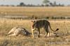 Lion-after-feeding-2