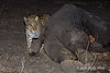 Leopard-investigating-elephant-carcass-1