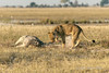 Lion-attempting-to-bury-giraffe-after-feeding