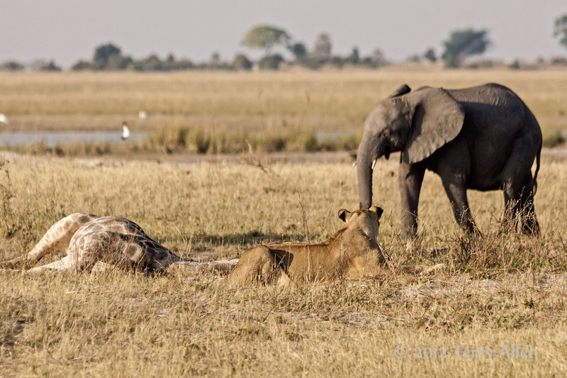 Lioness-with-giraffe-kill-watching-elephant