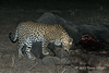 Leopard-sniffing-elephant-carcass-2