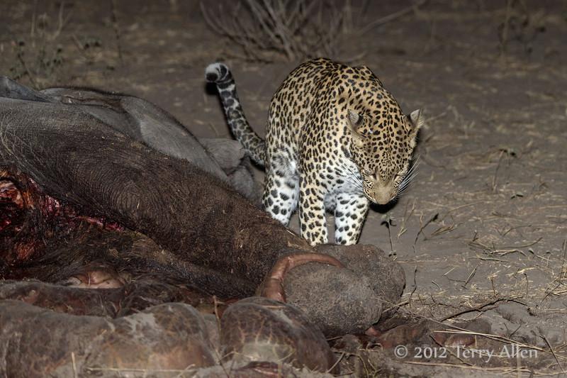 Leopard-investigating-elephant-carcass-2