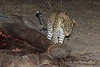 Leopard-investigating-elephant-carcass-2