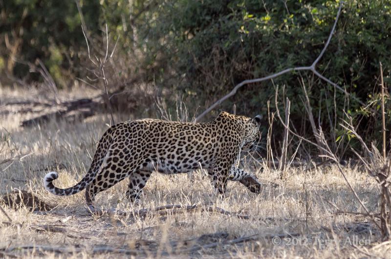 Leopard-moving-through-bush
