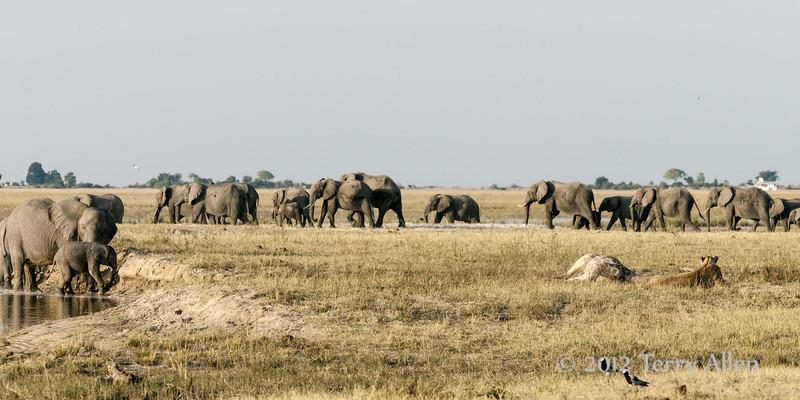Lioness beleagured by elephants