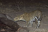 Leopard-sniffing-elephant-carcass-1