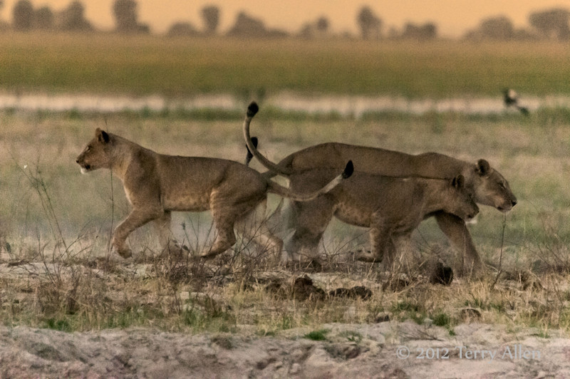 Young-lions-responding-to-lioness-call