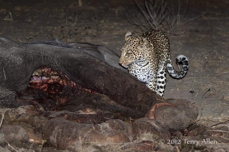Leopard-at-elephant-carcass-3