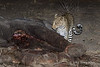 Leopard-at-elephant-carcass-3