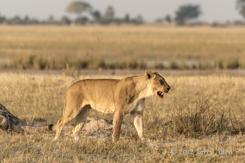 Lion-calling-for-her-pack