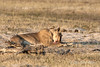 Lioness-cleaning-up-after-feeding