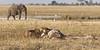 Lioness-licking-giraffe-skin-prior-to-feeding