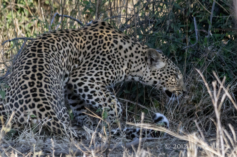 Leopard-crouching-in-bushes-2