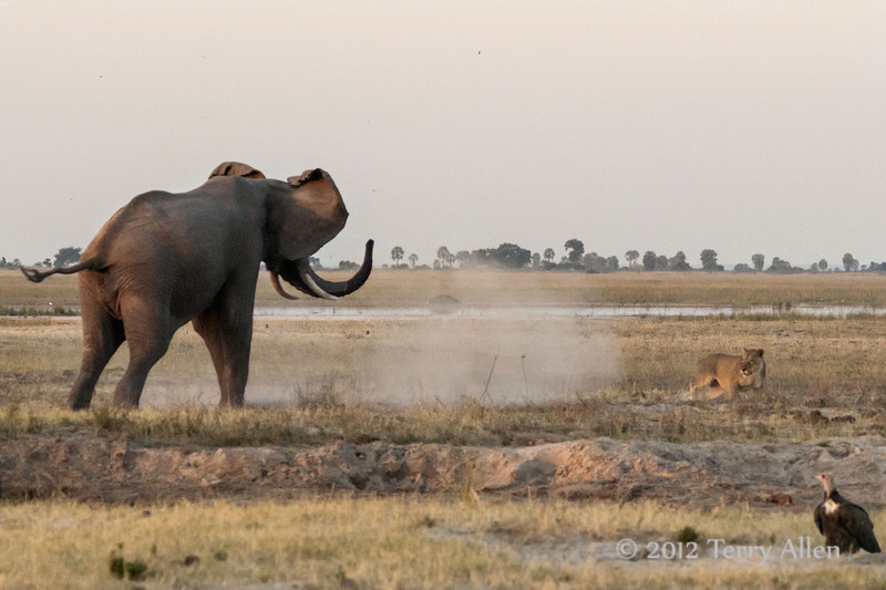 Lioness-under-attack-by-elephant