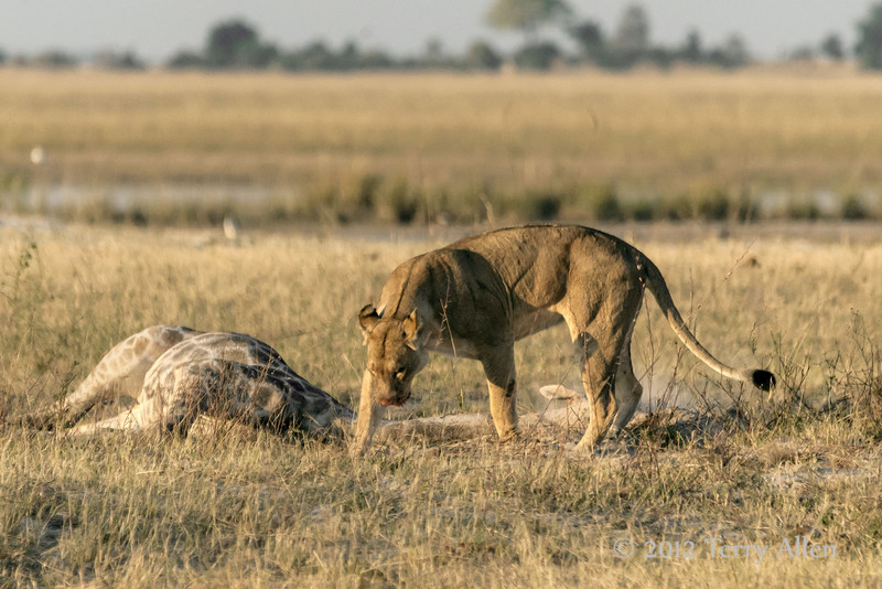 Lion-attempting-to-bury-giraffe-after-feeding-2