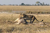 Lioness-attempts-to-turn-over-giraffe-2